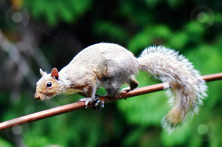 Scurrying Squirrel stock photo, A grey squirrel deftly scampering across a thin rail. Horizontally framed shot by Orange Line Media