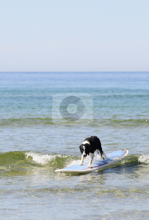 Surfing dog stock photo, Boarder collie is surfing by Magnus Johansson