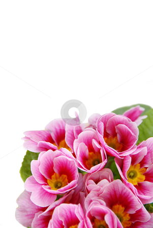 Spring flowers stock photo, Pink spring flowers  over white background by Julija Sapic