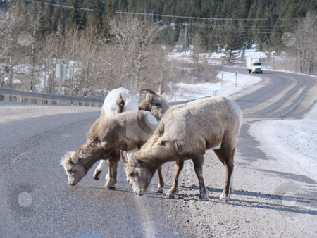 Rocky mountain goats stock photo, Rocky mountain goats eating salt along the highway by CHERYL LAFOND