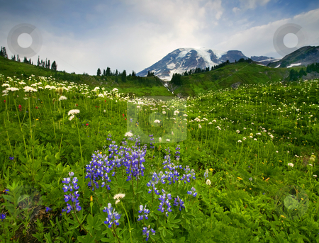Mt. Rainier Wildflower Profusion stock photo, A profusion of Wildflowers dot an alpine meadow on the slopes of Mt. Rainier by Mike Dawson