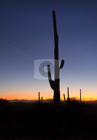 Saguaro Sunset stock photo, A large saguaro silhouetted at dusk with Venus rising in the earling evening sky. by Mike Dawson