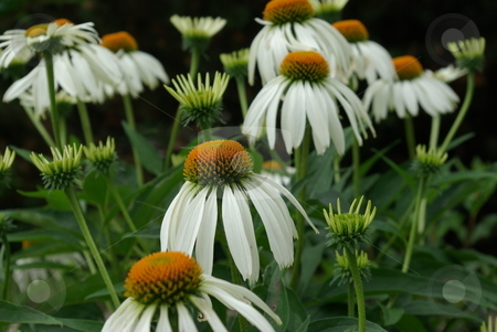 White coneflowers blooming stock photo, Cornflowers (Echinacea) come in a variety of colors and like the white flowers pictured are native to North America - growing generally in dry areas like grasslands and stony out croppings. by Dennis Thomsen