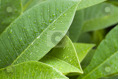 Green leaves stock photo, Green leaves covered in rain drops by Stephen Gibson
