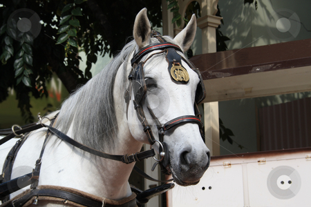 White horse drawing carriage stock photo, Beautiful white horse wearing carriage gear by Chris Alleaume