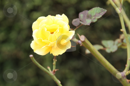 Yellow Rose stock photo, Beautiful yellow rose on a green background of foliage by Chris Alleaume