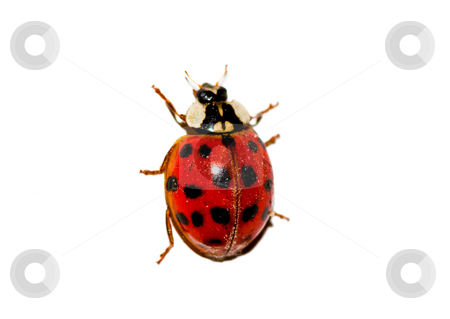 Ladybug isolated on white stock photo, Ladybug isolated on white by Luca Bertolli