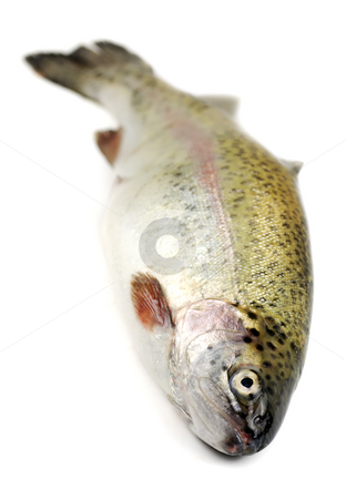 Rainbow trout stock photo, Close up of a fresh rainbow trout by Paul Turner