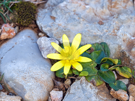 Stone flower stock photo, Just a closeup of a small yellow flower in the spring. by Sinisa Botas