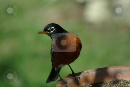 Alert Robin stock photo, This Robin almost looks posed on an early spring day.  Robins are natures sign of spring and seasonal change in the northern states of the USA. by Dennis Thomsen