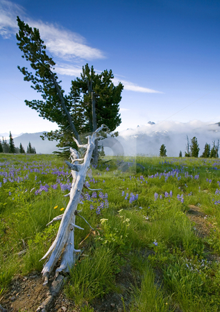 Reaching for the Clouds stock photo, A snag in an alpine meadow appears to reach for the low clouds as morning fog clears over Governor's Ridge by Mike Dawson
