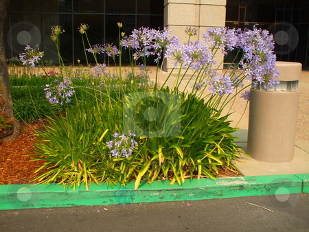 Agapanthus Flowers stock photo,  by Michael Felix