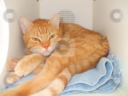 Domestic Short Hair Cat stock photo,  by Michael Felix