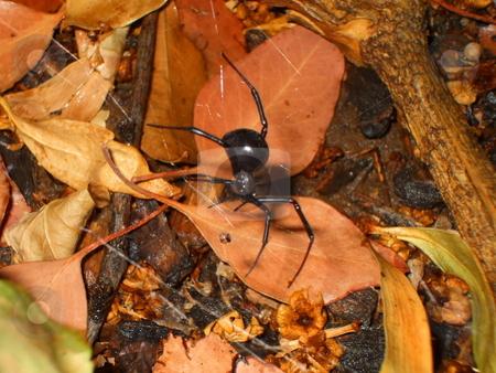 Black Widow Spider stock photo,  by Michael Felix