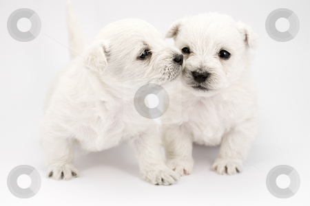 Kissing puppies stock photo, Adorable kissing puppies, only a few weeks old by Laurent Renault
