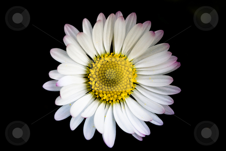 Daisy stock photo, Beautiful daisy macro by Luca Bertolli