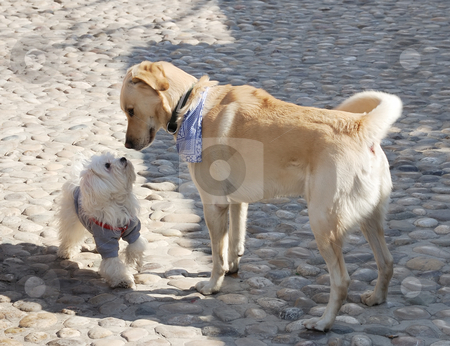 First meeting stock photo, Dogs sniffing each other on a first meeting. by Ivan Paunovic