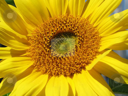 Full Sunflower Face stock photo, Close up of the centre of a sunflower by Helen Shorey