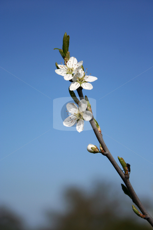 Hawthorn blossom stock photo, Early spring Hawthorn blossoms and buds, ready to burst by Helen Shorey