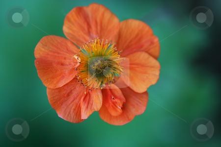 Orange Geum stock photo, Vibrant orange Geum flower against a green foliage background by Helen Shorey