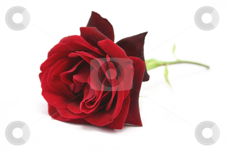Red Rose stock photo, A single rich red rose on a white background by Helen Shorey