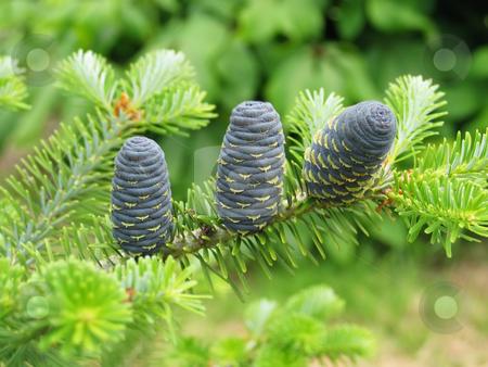 Evergreen Cones stock photo, The