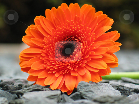 Orange Gerbera on Shale stock photo, Orange gerbera on garden shale. Macro shot using very shallow depth of field by Helen Shorey