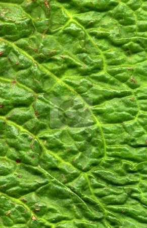 Close up of a green dock leaf. stock photo, Close up of a green dock leaf. by Stephen Rees