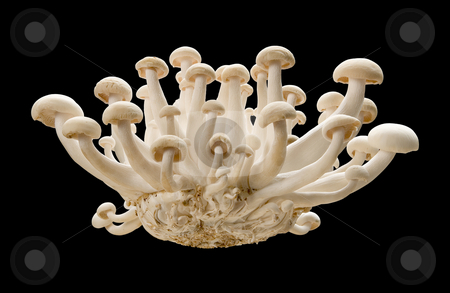 Royal Trumpet Mushroom stock photo, Royal Trumpet Mushroom isolated on a black background by Danny Smythe