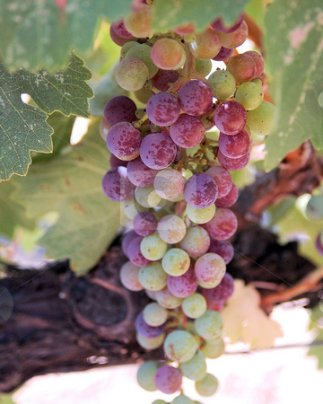 Zinfandel Grapes stock photo,  by Jennifer Benjamin