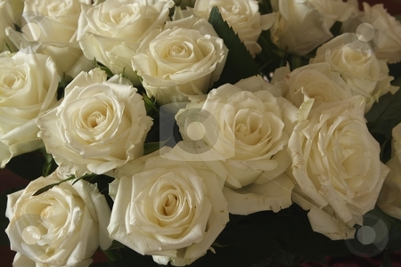 White Roses stock photo, Bouquet of white roses, filling frame of photo, no background by Wes Shepherd