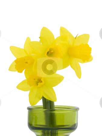 Miniature Daffodils on White Background stock photo, Miniature Daffodils on a white background with copy space by John Teeter