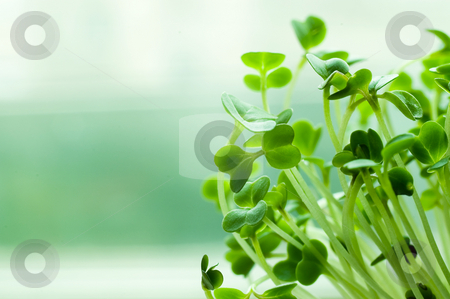 New spring sprouts stock photo, Spring sprouts growing by Ewa Kubicka