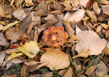 Toadstools stock photo, Family of mushrooms on ground among dry leaves by Julija Sapic
