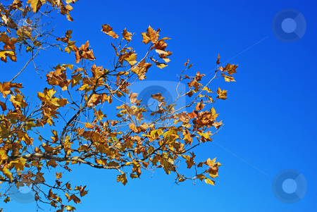 Yellow autumn leaves blue sky stock photo, Yellow tree leaves seasonal background over blue sky by Julija Sapic