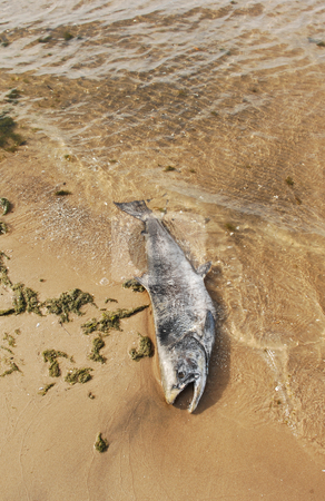 Dead fish. stock photo, An dead big fish on the beach of lake Ontario. by Horst Petzold