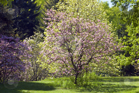 Magnolia stock photo, Two magnolia trees with flowers at sunlit by Pavel Cheiko