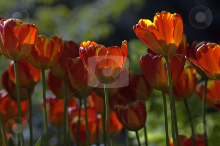 Tulips stock photo, Close up of red and yellow tulips at sunset by Pavel Cheiko