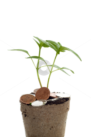 Closeup Money Tree stock photo, Closeup view of a money tree, isolated against a white background by Richard Nelson
