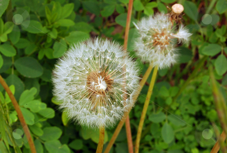 Flowers stock photo, Fine white dandelions on a green grass background by Pavel Cheiko