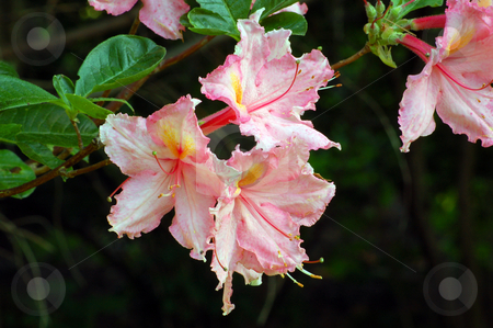 Flower stock photo, Fine white and pink rododendron in a garden by Pavel Cheiko