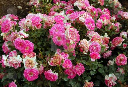 Pink and white roses stock photo, Pink and white roses on green grass background by Pavel Cheiko