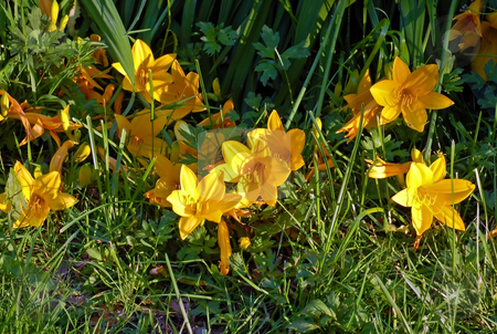 Crocus stock photo, Yellow crocus flowers in a green meadow by Pavel Cheiko