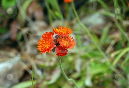 Orange flowers stock photo, Orange flowers on green grass background by Pavel Cheiko