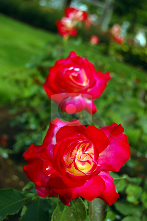 Red rose stock photo, Red rose on green grass background by Pavel Cheiko