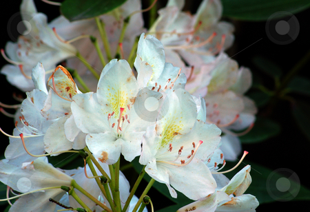 Rhododendron stock photo, Fine white rhododendron flowers in a garden by Pavel Cheiko
