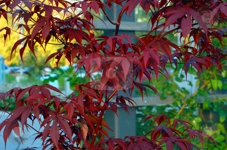 Red leaves stock photo, Red leaves in sun light by Pavel Cheiko