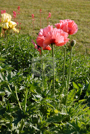 Flower stock photo, Poppie flower on green meadow by Pavel Cheiko