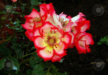 Flower stock photo, Bunch of Betty Boop roses in garden by Pavel Cheiko