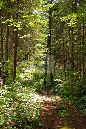 Forest stock photo, Portage in sunny pine forest in Algonquin Park by Pavel Cheiko